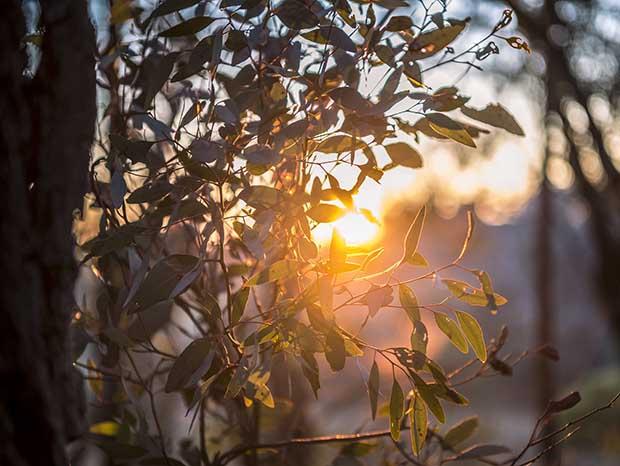 Sunset through eucalypt foliage.
